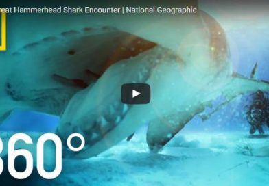 360 VR Great Hammerhead Shark Encounter